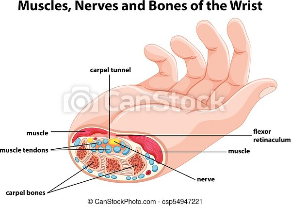 diagram showing human hand with muscles illustration_csp54947221 diagram showing human hand with muscles and nerves illustration