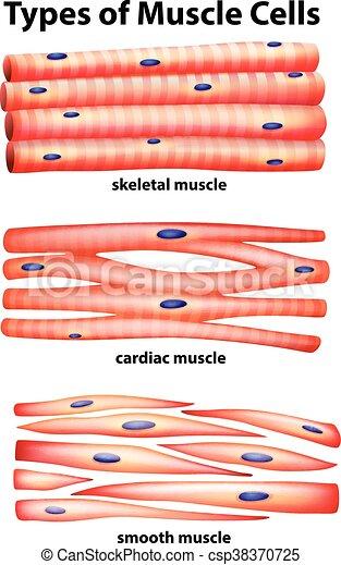 Diagrama, actuación, músculo, células, tipos. Actuación, ilustración ...