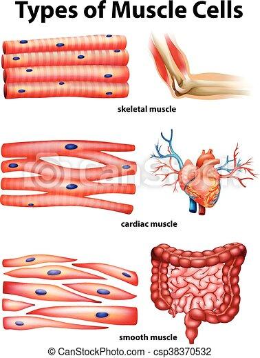 Diagrama, actuación, músculo, células, tipos. Actuación,... vectores ...