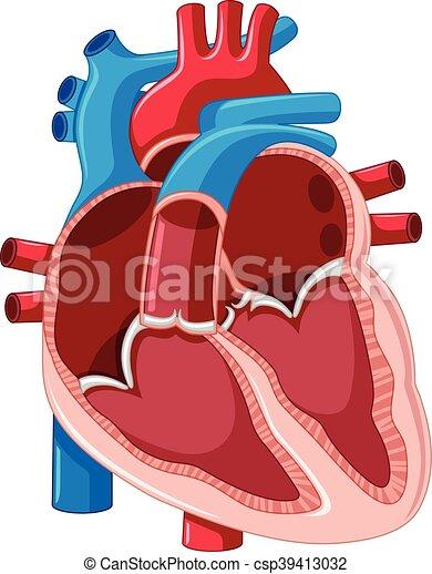 Diagrama, corazón, actuación, dentro, humano. Corazón, actuación ...
