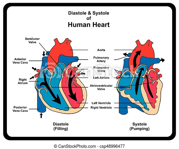 Diagrama, corazón, diástole, sístole, humano. Corazón, diástole ...