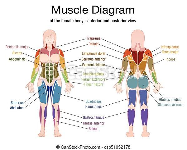 Diagrama, cuerpo, músculo, nombres, hembra. Cuerpo, músculos ...
