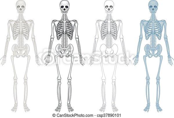 Diagrama, diferente, esqueleto, humano. Diagrama, diferente ...