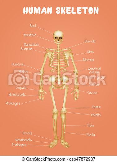 Diagrama, esqueleto, humano. Diagrama, esqueleto humano, ilustración.