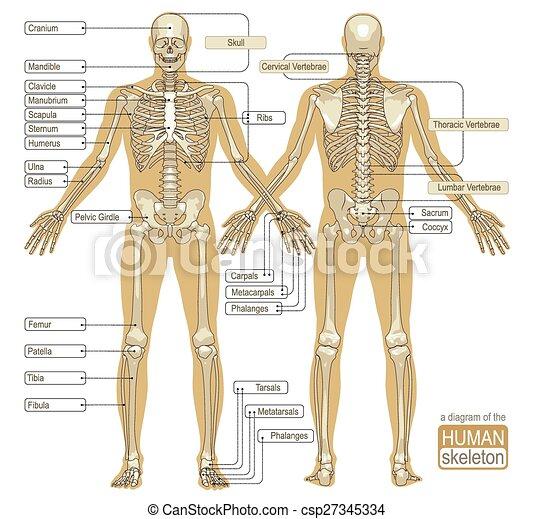 Diagrama, esqueleto, humano. Titled, esqueleto, system., esquelético ...