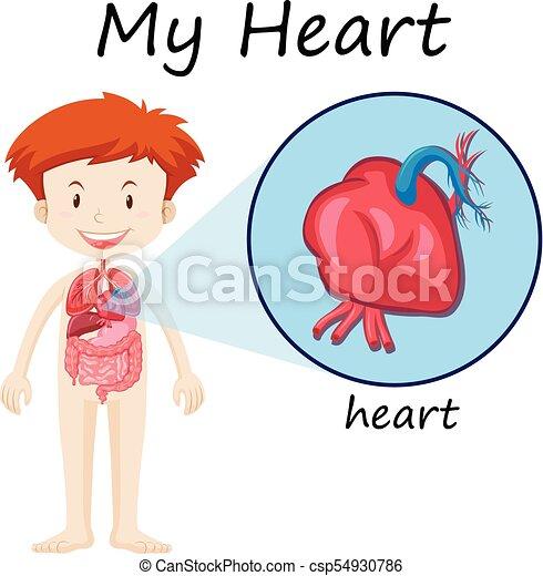 Diagrama, niño, anatomía, corazón humano. Niño, anatomía,... vector ...
