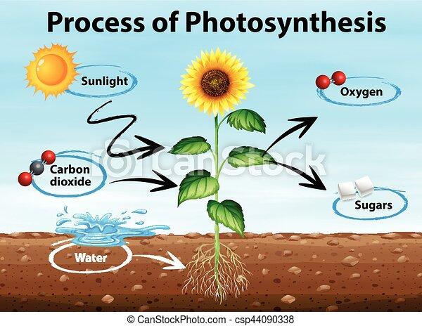 diagrama, processo, mostrando, fotossíntese - csp44090338