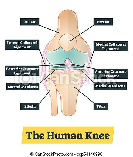 Diagrama, rodilla, vector, humano, ilustración. Descriptions ...