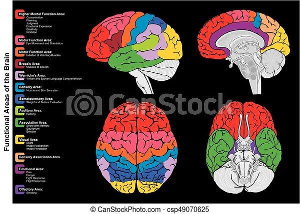 Diagramm, gehirn, infographic, funktional, menschliche . Alles ...