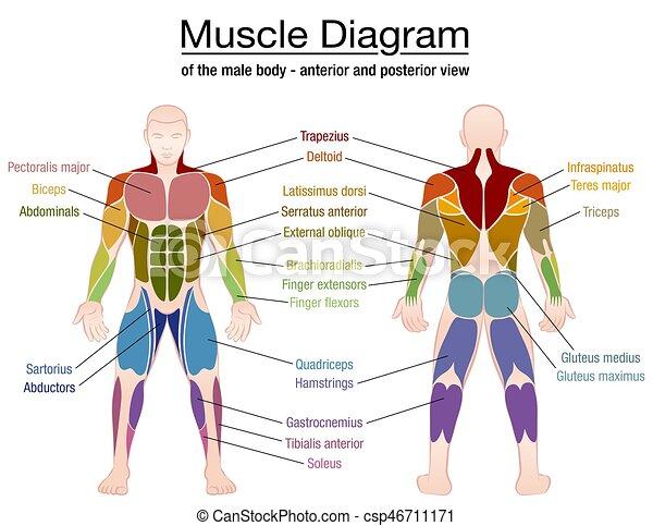 Diagramm, koerper, muskel, mann, namen. Vorhergehend, koerper ...