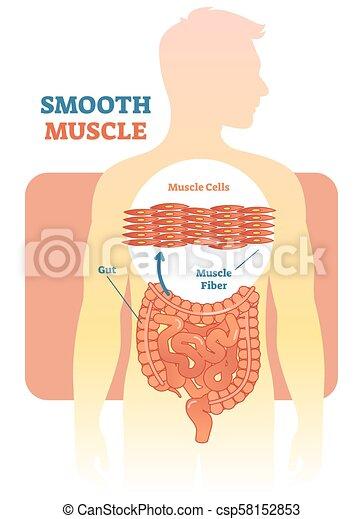 Diagramm, muskel, menschliche , glatt, abbildung, anatomisch, vektor ...