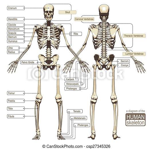 Diagramm, skelett, menschliche . Titled, skelett, system ...