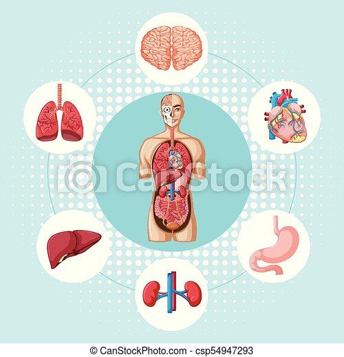 Diagramm, verschieden, organe, ausstellung, menschliche ...