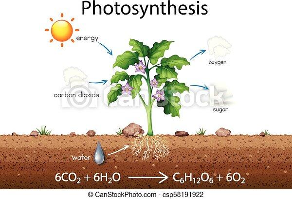 Diagramm, wissenschaft, erklärung, photosynthese, abbildung.