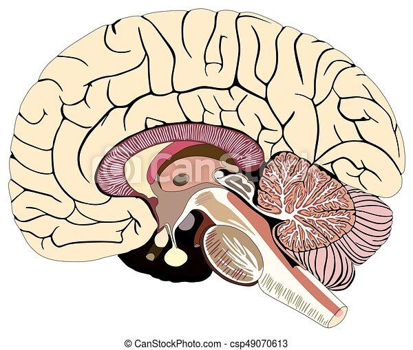diagramme, cerveau, section, humain, médian - csp49070613