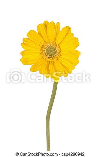 diaisy, amarela, talo longo - csp4296942