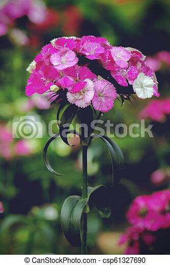 dianthus flower blossom in garden - csp61327690