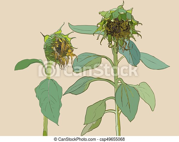 Sunflower Line Drawing : Die sunflower. vector set of hand drawn sunflowers and clip art