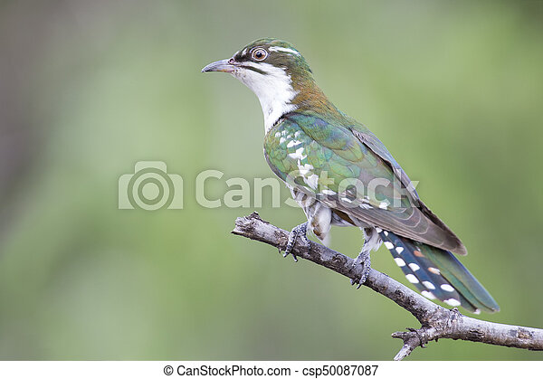 Diederick cuckoo sitting on branch with green background in the sun - csp50087087