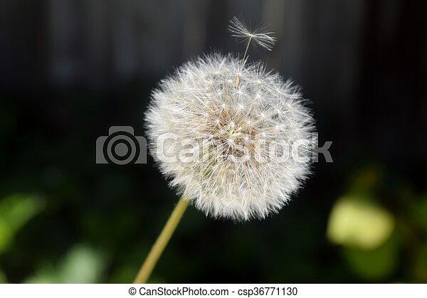 Dandelion - csp36771130