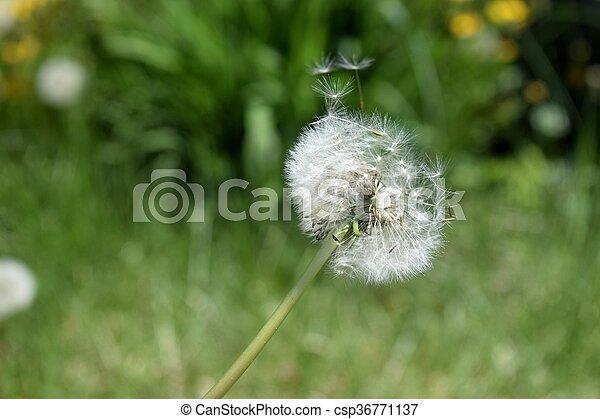 Dandelion - csp36771137