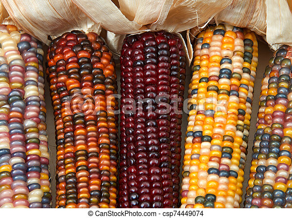 different colors of vibrant ears of Indian Corn with husks pulled back - csp74449074