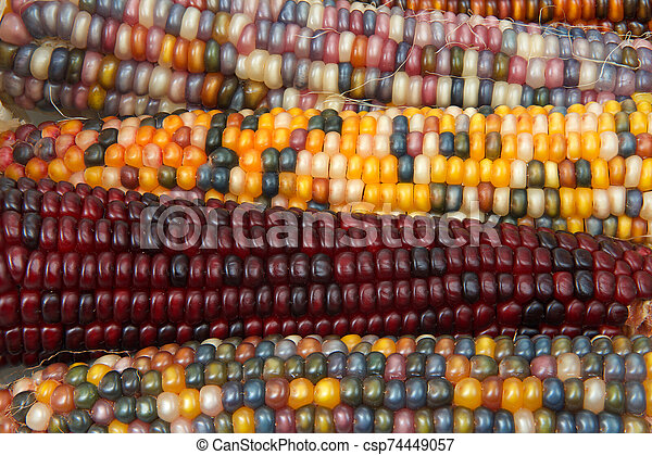 different colors of vibrant ears of Indian Corn - csp74449057