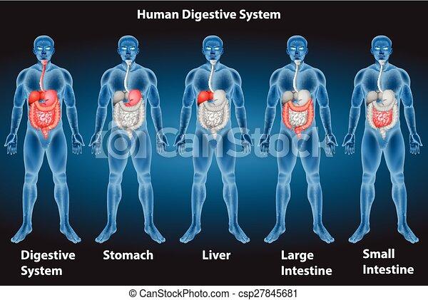Digestive system - csp27845681
