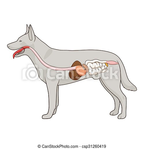 Digestive system of the dog vector illustration - csp31260419