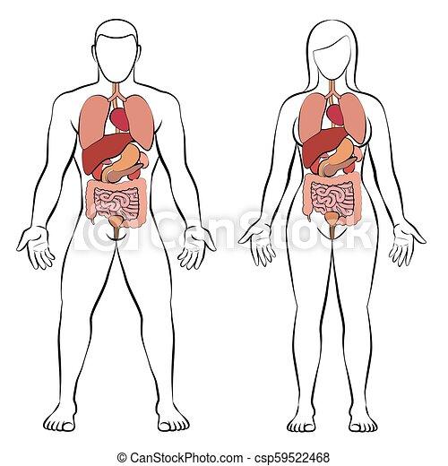 Digestive tract internal organs man woman couple digestive tract digestive tract internal organs man woman couple csp59522468 ccuart Images