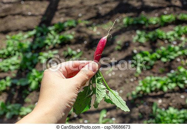 Digging up fresh radish in the garden - csp76686673