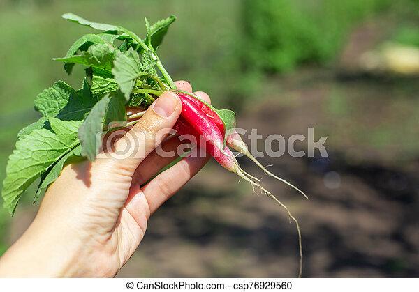 Digging up fresh radish in the garden - csp76929560