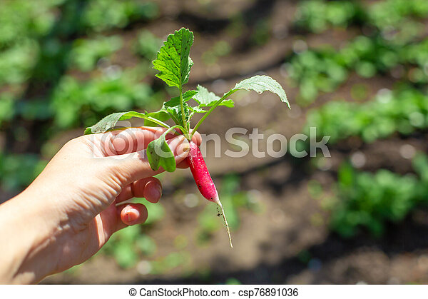 Digging up fresh radish in the garden - csp76891036