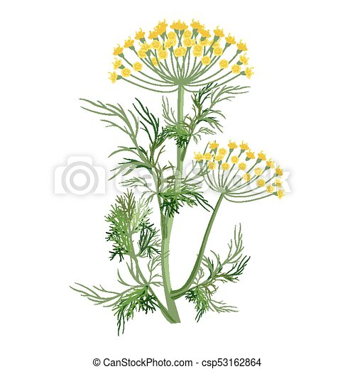Dill Herb With Small Yellow Bloom And Green Stem Dill Herb With