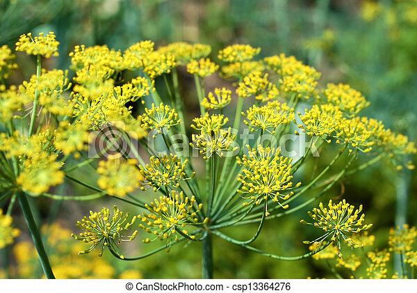 Dill in garden - csp13364276