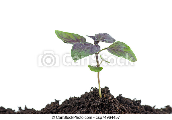 diminuto, hierba, plano de fondo, aislado, blanco, albahaca - csp74964457