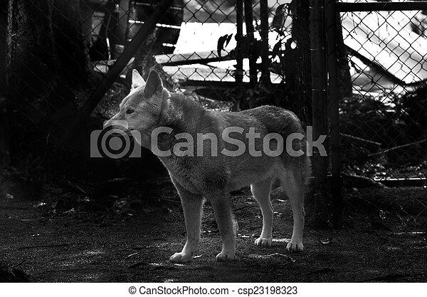 Dingo in Queensland Australia - csp23198323