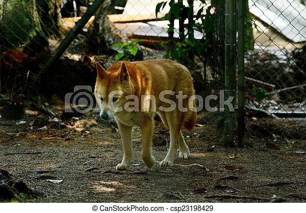 Dingo in Queensland Australia - csp23198429