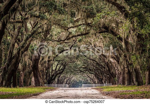 Dirt Road Through Live Oak Tree Tunnel - csp75264007