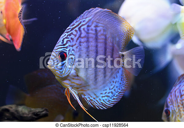 Discus fish, blue Symphysodon Discus in  aquarium.  - csp11928564