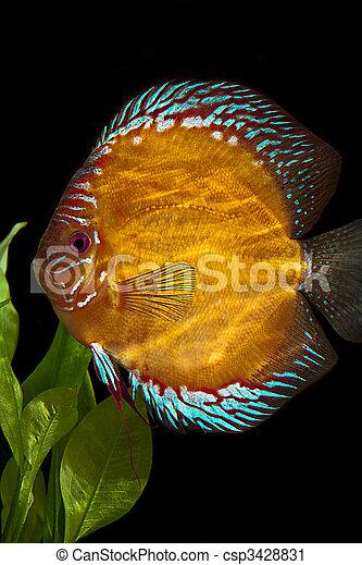 Discus fish,  - csp3428831