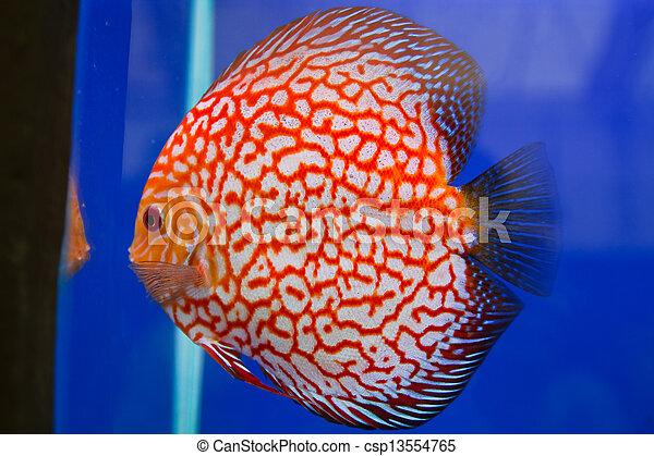Discus fish - csp13554765