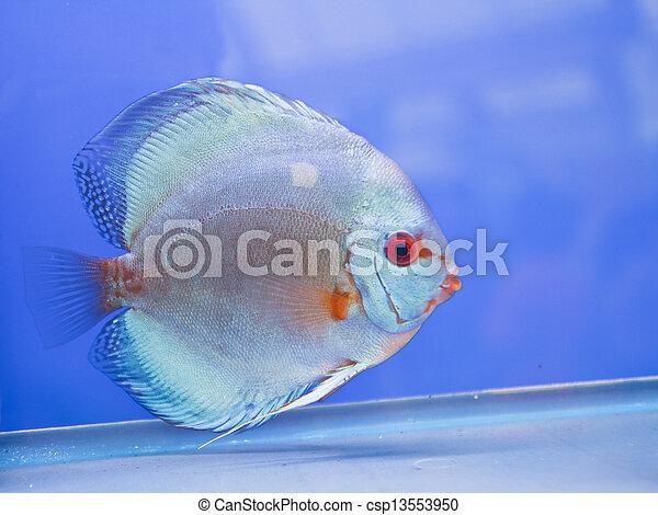 Discus fish - csp13553950