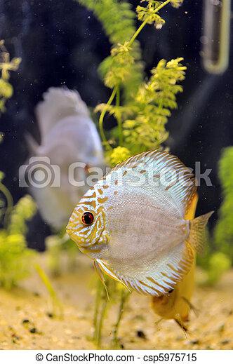 Discus fish - csp5975715