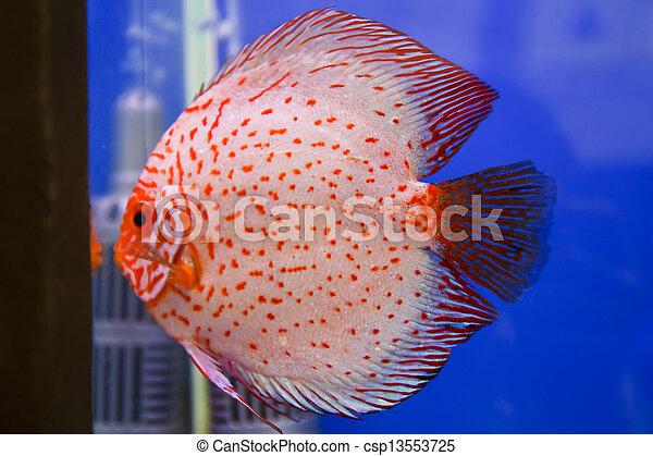 Discus fish - csp13553725