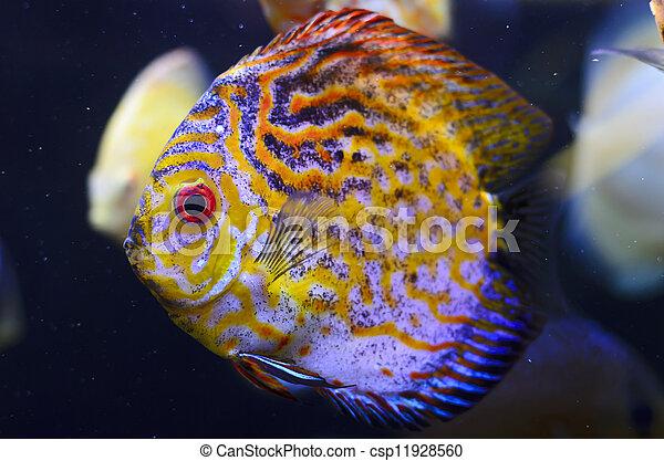 Discus fish, yellow Symphysodon Discus in aquarium. - csp11928560