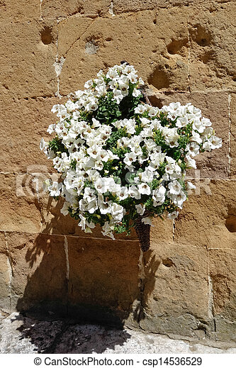 Display of white Petunias attaced to a wall in Pienza - csp14536529