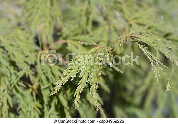 Dissectum Viridis Japanese Maple - csp84959226