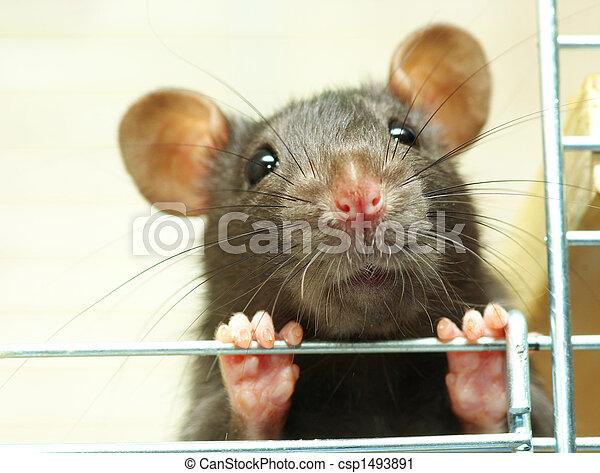Rata graciosa - csp1493891