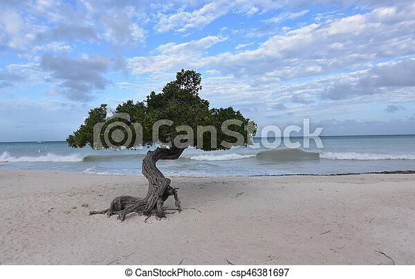 Divi Tree on Eagle Beach with Waves Crashing - csp46381697